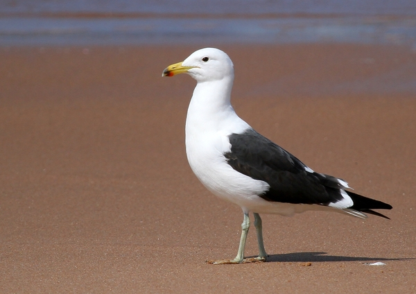 Seagull: A Seagull on the Zululand Coast of South Africa