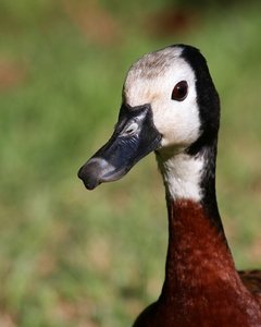 White Faced Duck 1