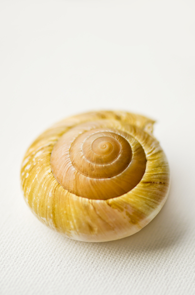 Sea shell on white background: Round sea shel or snail shell on white background
