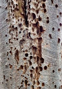 pitted boab bark1