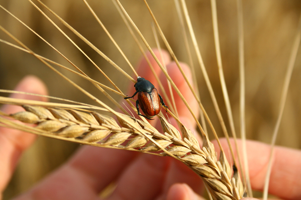 bug in the wheat 2