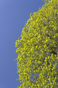 Fresh leaves: Fresh young leaves of linden (Tilia, lime) trees in spring in West Sussex, England.