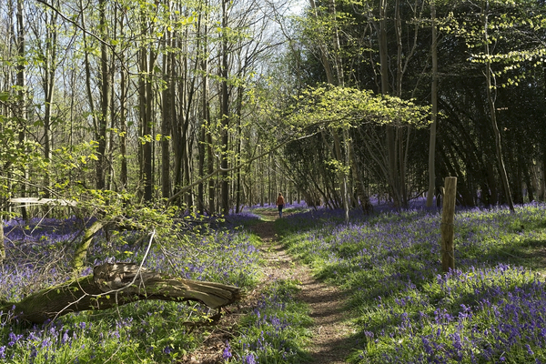 Woodland walk: A path through bluebell woodland in West Sussex, England, in spring.