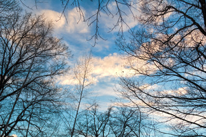 Sky through trees: A picture of the sky with clouds through several large trees