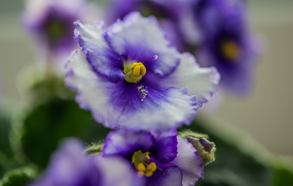 flowers: delicate pansy
