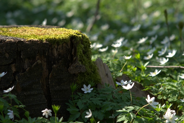 Stump and anemones: Stump and anemones on spring forest bed.