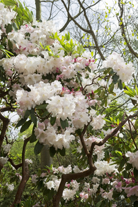 Rhododendrons in flower