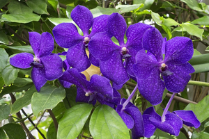 Purple orchids: Purple orchids in a greenhouse in England.