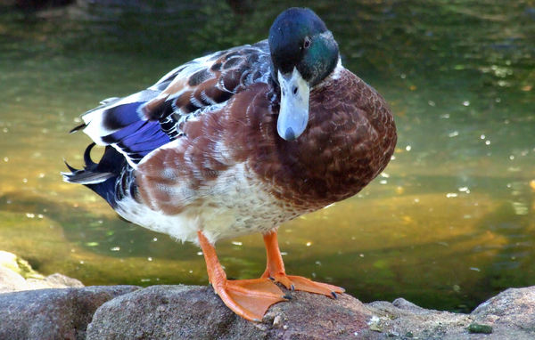 colourful duck1