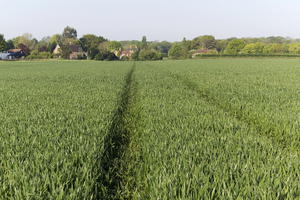 Village and crop fields: Cereal crops growing on the edge of a village in West Sussex, England, in spring.