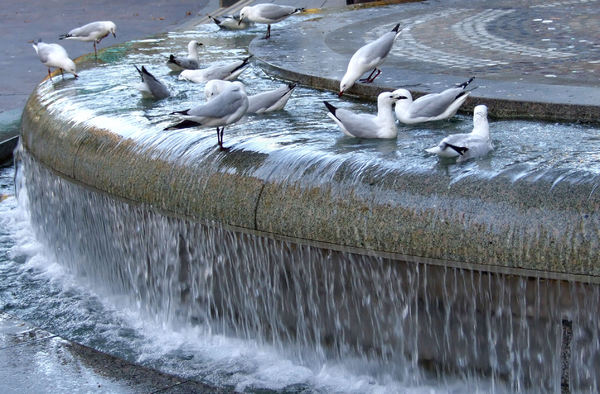 fountain gulls2