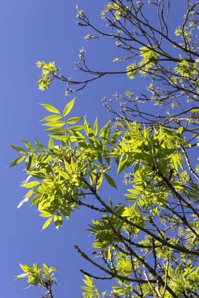 Fresh spring leaves: Fresh spring leaves of an ash (Fraxinus) tree in West Sussex, England.