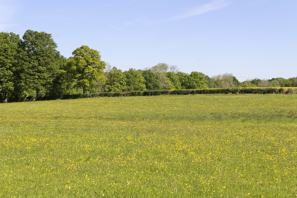 Buttercup meadow: A meadow of buttercups (Ranunculus) in spring in West Sussex, England.