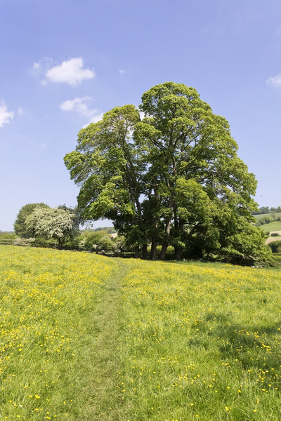 Meadow footpath