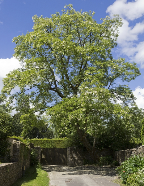 Robinia tree