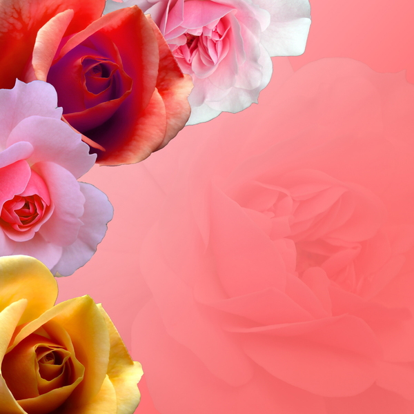 Floral Background: Pink rose flower background.