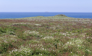 Island wild flowers: Sea campion (Silene uniflora, formerly maritima) and other plants in flower on Skomer Island, Pembrokeshire, Wales.