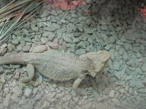 Lizard: A huge lizard in the zoo.