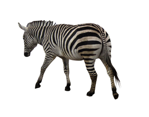 Zebra: A striped animal.