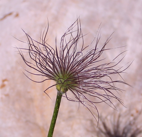Purple Pasque Flower Seed Head