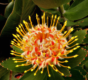South African wildflowers10