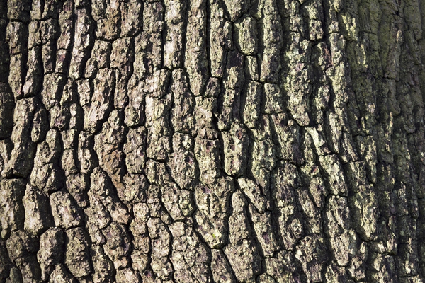 Oak bark texture: Oak (Quercus) bark in winter sunlight.