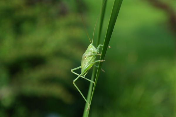 grasshopper: a green insect in summer 2013 / germany(saxony)