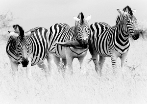 Zebras in Black and White: A monotone image of 3 Zebras in South Africa.
