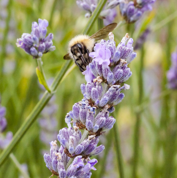 Bee on Lavender 4