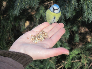Feeding tit: A woman hand-feeding jays and tits (Eurasian Blue Tit).