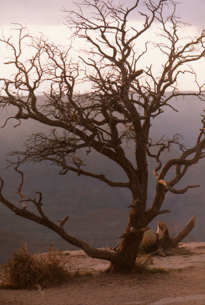 Tree atop Grand Canyon: Tree at rim of Grand Canyon