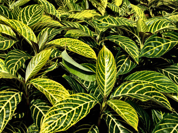 green & yellow veined foliage1