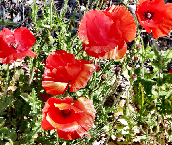 red poppies4