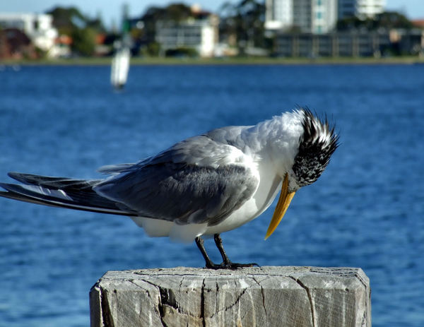 crested tern3: greater crested tern perched on river pier stump