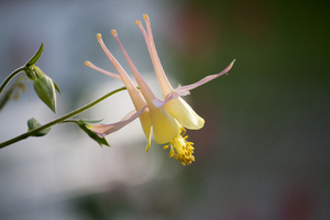 columbine: Peach and yellow columbine flower.