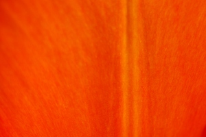 Texture - tulip: Texture of tulip petal. Close up / macro.