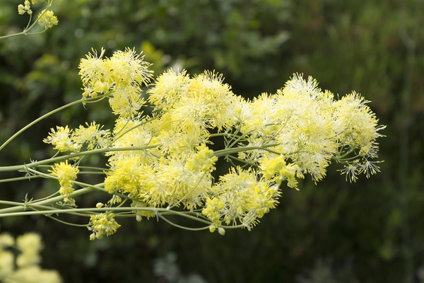 Meadow-rue flowers