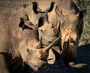 White Rhino (Rhinoceros): White Rhino, (Grass Eating) hunted and killed in the most gruesome way for their horns and will soon be endangered