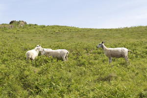 Shorn sheep: Shorn sheep and unshorn lambs in Pembrokeshire, Wales.