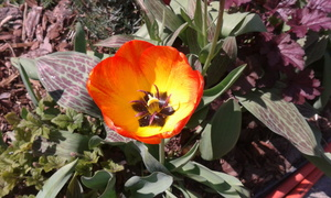 tulip: no description