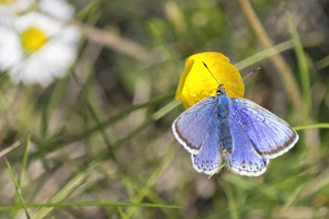 Blue butterfly: A blue butterfly, probably a female Common Blue, feeding at a buttercup.