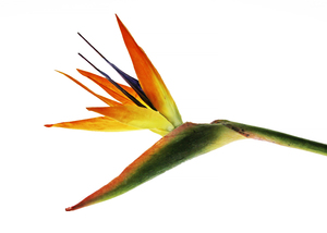 Bird of Paradise (improved): An artificial flower in front of a light panel. Same image as mhBrj2k