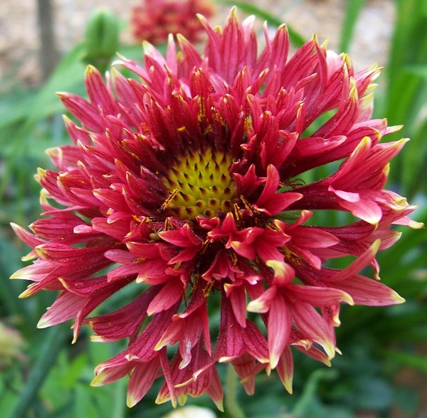 gaillardia: another one of my flowers
