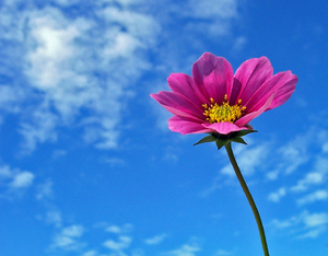 cosmos against a blue sky: cosmos against a blue sky