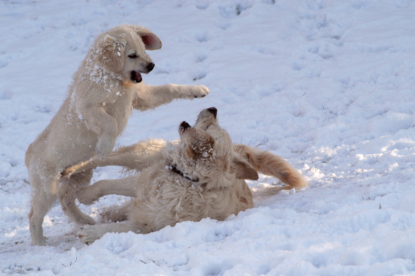 Dogs in the snow 1: Dogs playing in the snowErmine 3 mths Douchka 2 yrs
