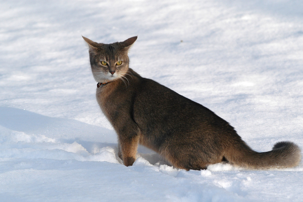 Abyssinian cat in the snow