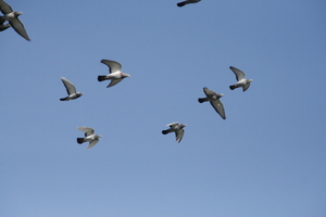 Pidgeons: Pidgeons in the sky.