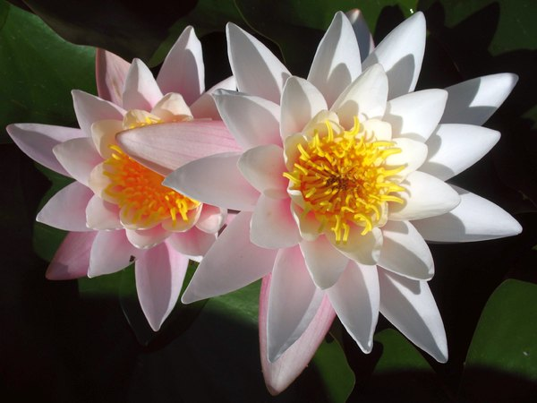 Water Lily Twins: Two water lilies in symmetry-