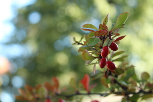 Hawthorn - red beauty