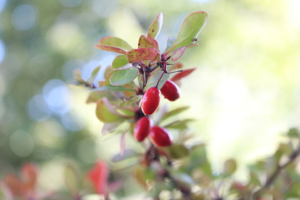 Hawthorn - red beauty: Beautiful ripening hawthorn and delicate effect bokken